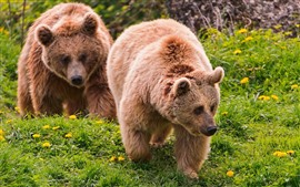 Preview wallpaper Two brown bears, walk, green grass, flowers