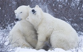 Preview wallpaper Two polar bears, play, snow