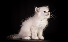 Preview wallpaper White fluffy cat, black background