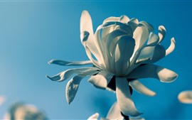 Preview wallpaper White petals flower macro photography, blue background