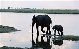 two elephants, family, river
