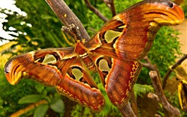 Big butterfly, orange wings, tree branch