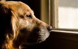 미리보기 배경 화면 갈색 개, 머리,보기, 창