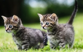 Preview wallpaper Cute two kittens, walk on grass