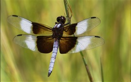 Preview wallpaper Dragonfly, wings, insect close-up, grass