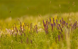 Preview wallpaper Grass, purple wildflowers, nature