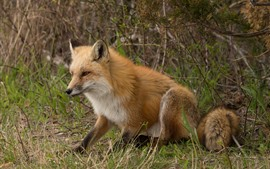 Preview wallpaper One fox, rest, grass, wildlife