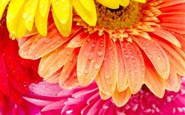 미리보기 배경 화면 주황색, 노란색, 분홍색 거베라 꽃, 꽃잎, 물방울