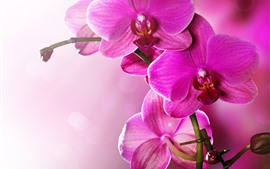 Розовый фаленопсис, орхидея, лепестки, стебель