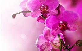 Phalaenopsis rosa, orquídea, pétalos, tallo