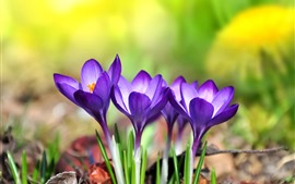 Purple crocuses, petals, flowers, hazy