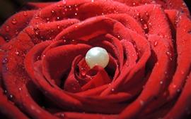 Rosa roja, primer plano de pétalos, gotas de agua, perla
