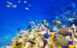 Sea, underwater, clown fish, reef, coral