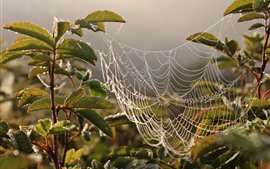 Spider web, dew, water droplets, leaves, morning