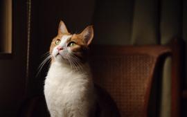 Gato blanco mira hacia arriba, ojos amarillos, silla