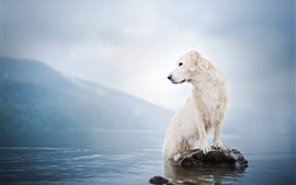Preview wallpaper White dog, lake, rock