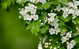 Preview wallpaper White hawthorn flowers flowering, green leaves, spring