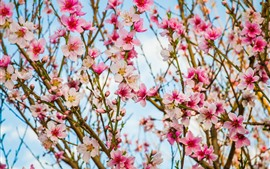 Beautiful pink peach flowers bloom, twigs, spring