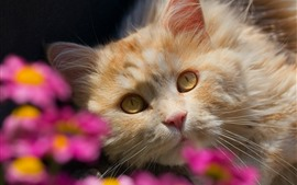 Cat look at you, face, yellow eyes, pink flowers