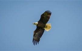 Preview wallpaper Eagle flight, wings, bird, sky