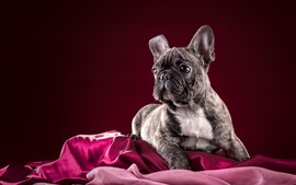 Preview wallpaper French bulldog, red background