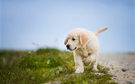 Golden Retriever, cachorrinho, andar, grama