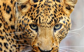 Preview wallpaper Leopard, look, eyes, face