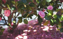 Pink camellia, flowers, green leaves, spring