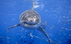 Preview wallpaper Shark front view, head, teeth, sea, fish, underwater
