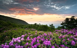 Preview wallpaper Shenandoah National Park, pink flowers, mountains, rhododendron
