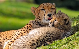 Two cheetahs, cub, motherhood