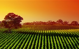 미리보기 배경 화면 호주, 나무, 새벽, 들판, 계곡, 햇빛