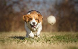 Beagle, perro, correr, hierba