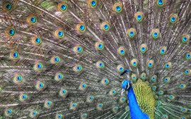 Preview wallpaper Beautiful feathers, peacock, bird