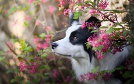 Border collie, flores rosadas, perro, cara