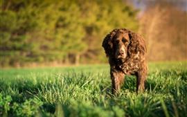 Brauner Hund, Gras, Blick