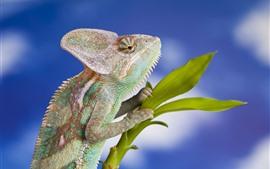 Aperçu fond d'écran Caméléon, lézard, reptile, plantes vertes, fond bleu