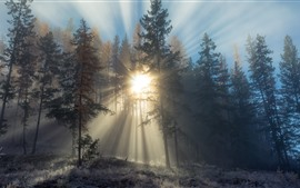 Fir trees, forest, sun rays, snow, winter