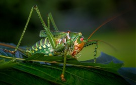 Insect macro photography, grasshopper, green leaves