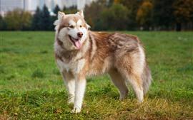 Malamute dog, look, meadow