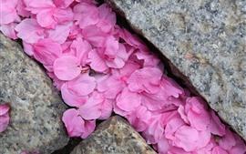 Muitas pétalas de sakura rosa, pedras