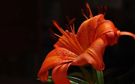 Preview wallpaper Orange lily, petals, flower, black background