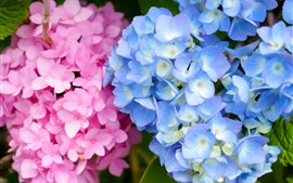 Preview wallpaper Pink and blue hydrangea flowers, inflorescence