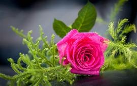 Aperçu fond d'écran Rose rose, pétales, gouttelettes d'eau, plantes vertes