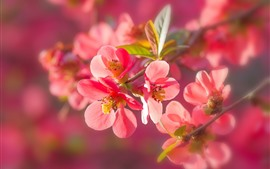 Preview wallpaper Red plum flowers flowering, twigs, leaves, spring