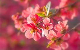 Flores de ciruelo rojo en flor, ramitas, hojas, primavera.