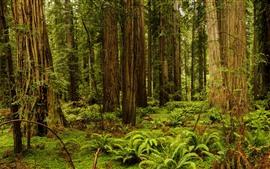 미리보기 배경 화면 레드 우드 국립 공원, 고사리, 나무, 잔디, 미국