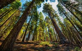 Sequoia, árvores, parque nacional, EUA