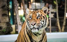 Tigre, rosto, olhos, água, jardim zoológico