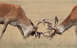 Preview wallpaper Two deers, fight, horns, wildlife